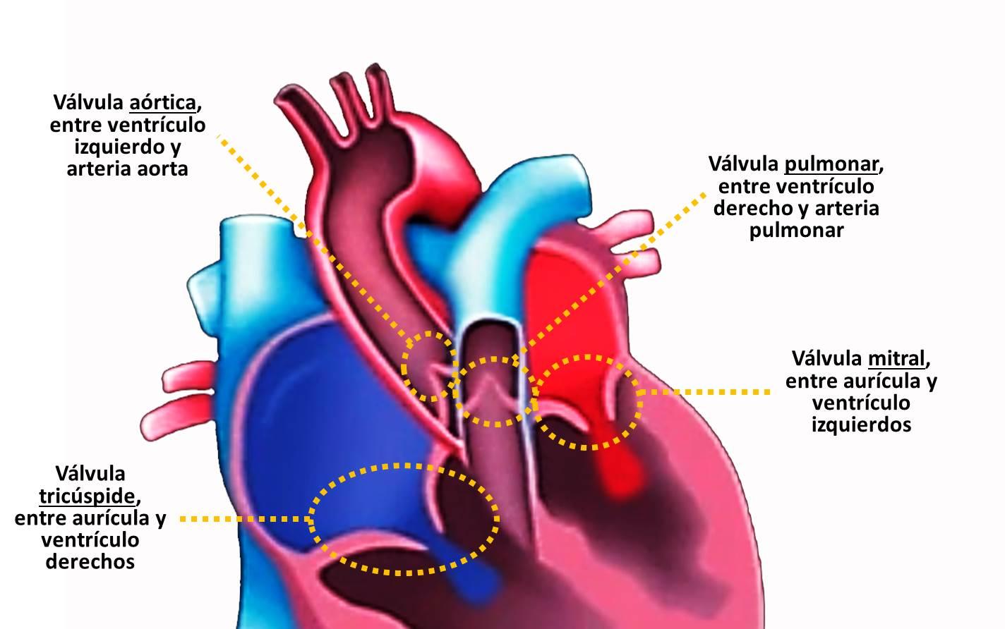 El sistema cardiovascular - CardiosaudeFerrol