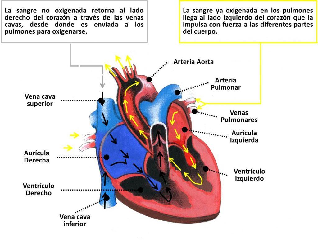 Imagenes del corazon y sus partes para colorear for Fotos del corazon
